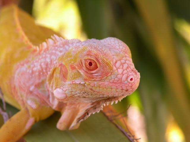 One of our high quality lizards for sale at Snakes at Sunset